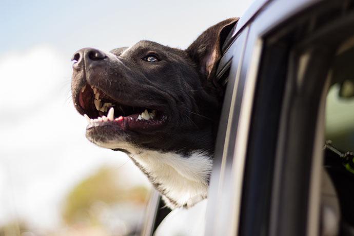 pes-v-avtomobilu
