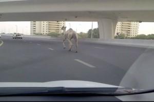 Kamela sredi ene izmed glavnih cest v Dubaju. (thenational.ae)